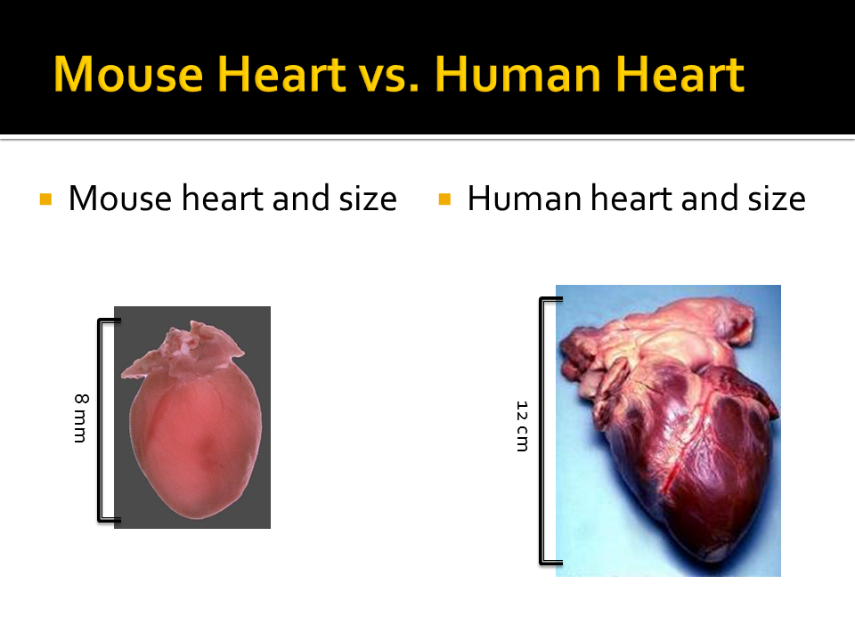 Comparison Of Human Cardiac Tissue And Mouse Cardiac Tissue